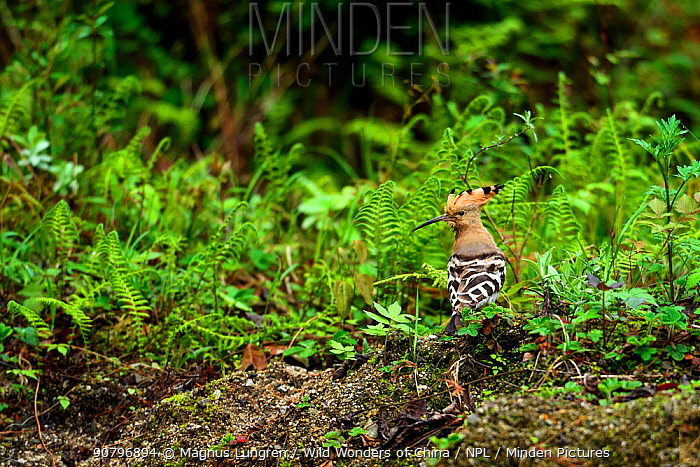 Common hoopoe (Upupa epops) on ground, Tangjiahe National Nature Reserve, Sichuan Province, China