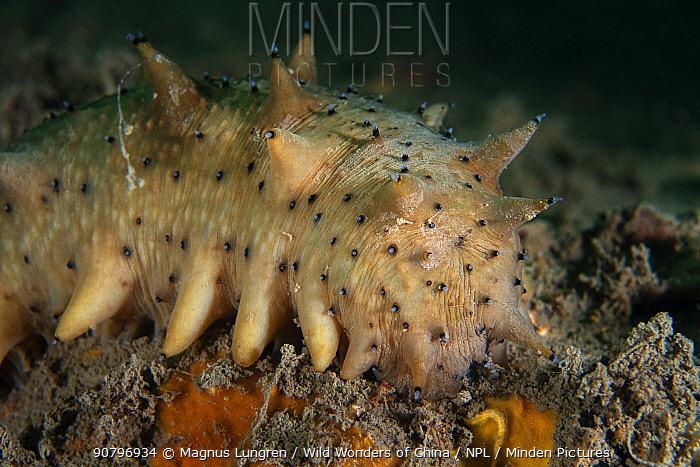 Japanese spiky sea cucumber (Apostichopus japonicus). Bohai Sea, Yellow Sea. Zhifu Island, Shandong Province, China.