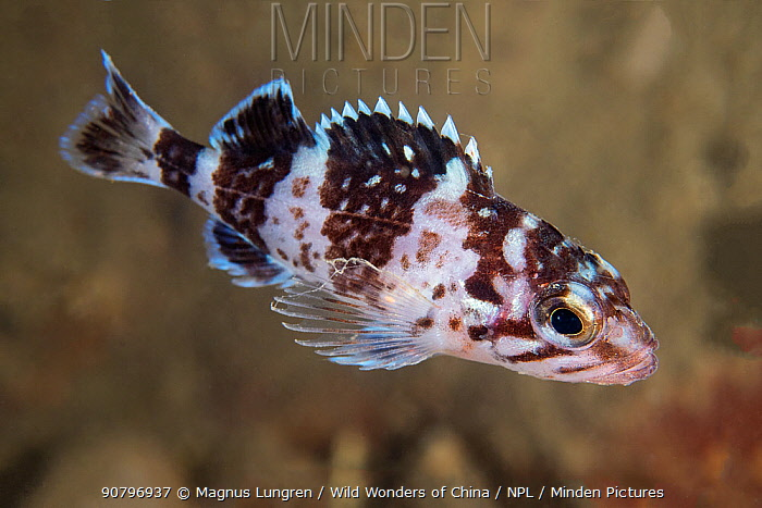 Japanese rockfish (Sebastes cheni), juvenile in Bohai Sea, Yellow Sea. Zhifu Island, Shandong Province, China.