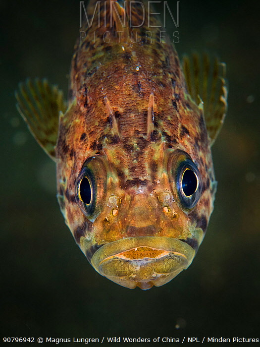 Korean rockfish (Sebastes schlegelii) in Bohai Sea, Yellow Sea. Zhifu Island, Shandong Province, China.