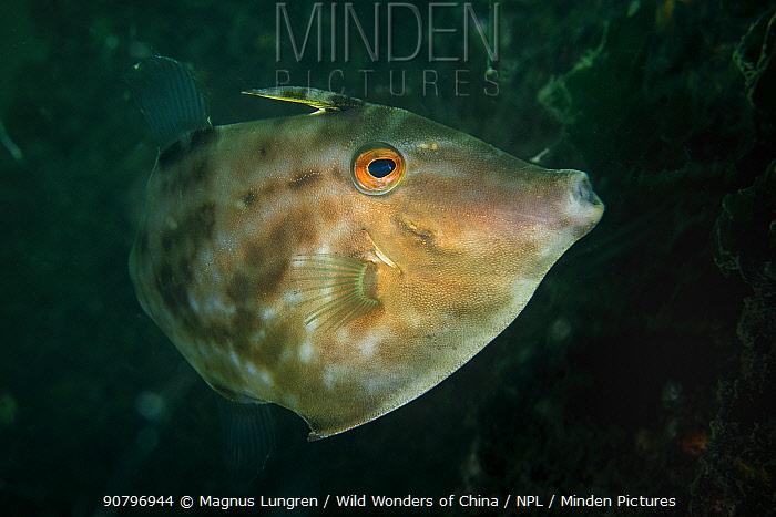 Filefish (Monacanthidae) in Bohai Sea, Yellow Sea. Zhifu Island, Shandong Province, China.