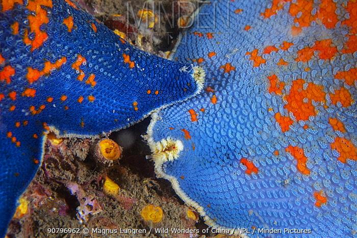 Blue bat star (Patiria pectinifera). Bohai Sea, Yellow Sea. Penglai / Dengzhou / Tengchow, Yantai, Shandong Province, China.