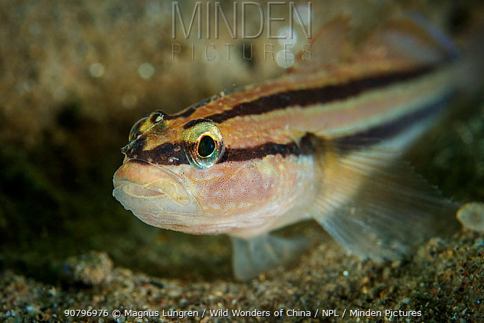 Chameleon goby (Tridentiger trigonocephalus). Zhifu Island, Bohai Sea, Yellow Sea, Shandong Province, China.