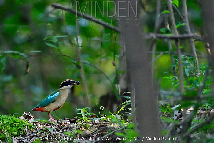 Fairy pitta (Pitta nympha), sitting on the ground in the forest with an insect in its beak, Guangshui, Hubei province, China, July.