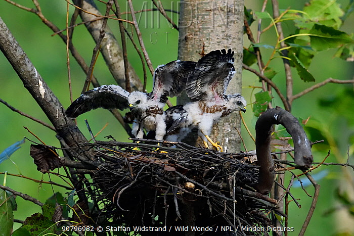 Chinese Sparrowhawk (Accipiter soloensis) chicks at the nest with wings spread, Guangshui, Hubei province, China, July.