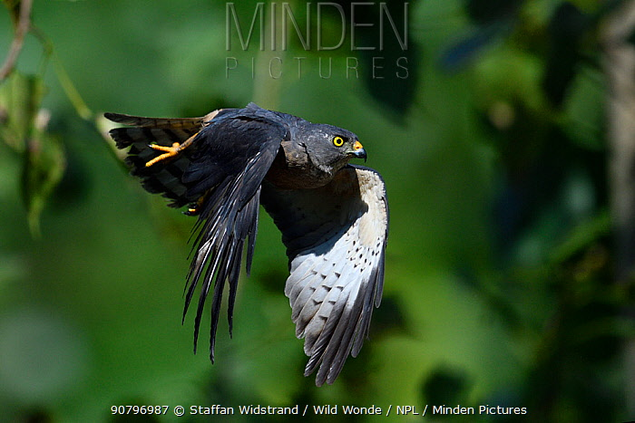 Chinese Sparrowhawk (Accipiter soloensis) taking off, Guangshui, Hubei province, China, July.