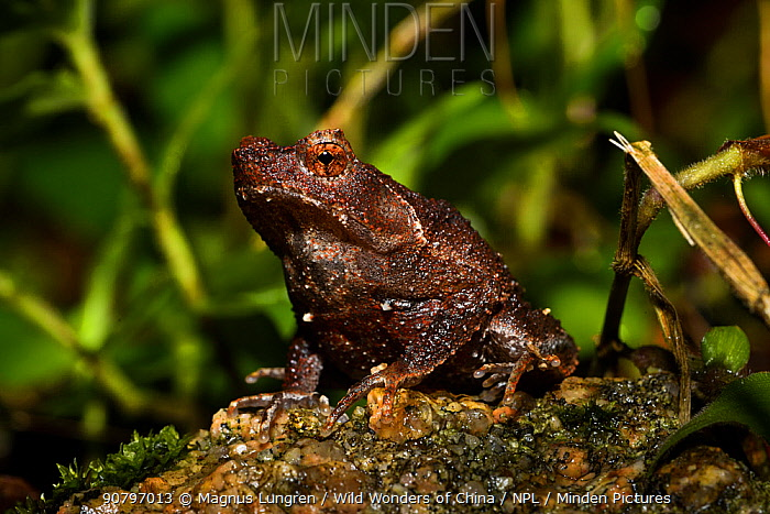 Short-legged horned toad (Megophrys brachykolos) Tai Tam Country Park, Hong Kong Island, China.