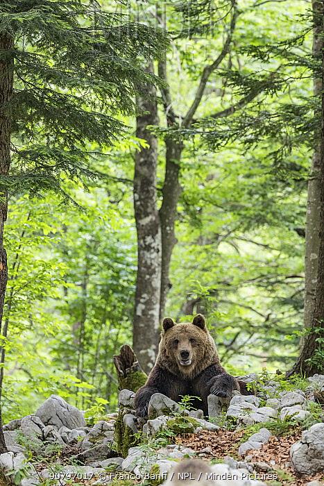 European brown bear (Ursus arctos), alpha male in Karst forest, Notranjska, Slovenia.