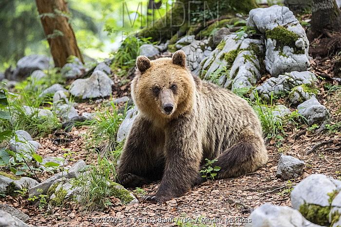 European brown bear (Ursus arctos) sitting, Sneznik forest, Slovenia. June.