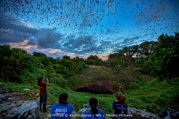 People watching masses of Mexican free-tailed bats (Tadarida brasiliensis) leaving maternity colony at night to feed, Bracken Cave, San Antonio, Texas, USA, June. Bracken Cave is the world's largest bat maternity colony.