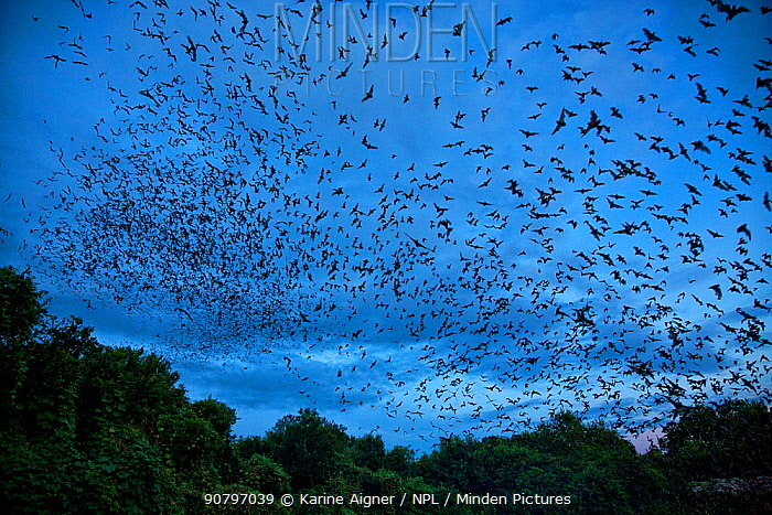 Mexican free-tailed bats (Tadarida brasiliensis) leaving maternity colony at night to feed, Bracken Cave, San Antonio, Texas, USA, June. Bracken Cave is the world's largest bat maternity colony.