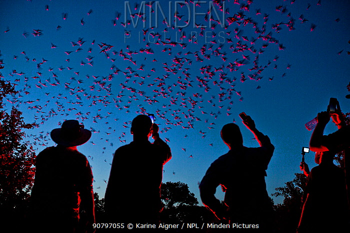 Tourists viewing Mexican free-tailed bats (Tadarida brasiliensis) leaving maternity colony at night to feed. This viewing is organized by Bat Conservation International. Bracken Cave, San Antonio, Texas, USA, June. Bracken Cave is the world's largest bat maternity colony.