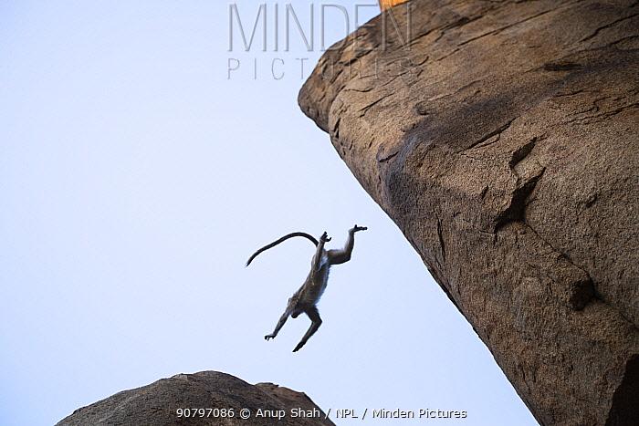 Bonnet macaque (Macaca radiata) jumping between boulders . Hampi, Karnataka, India.