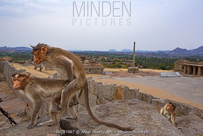Bonnet macaques (Macaca radiata) pair mating near ruined temples . Hampi, Karnataka, India.
