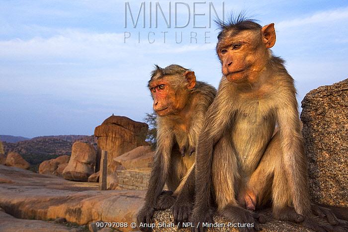 Bonnet macaque (Macaca radiata) male and female sitting on an ancient temple . Hampi, Karnataka, India.
