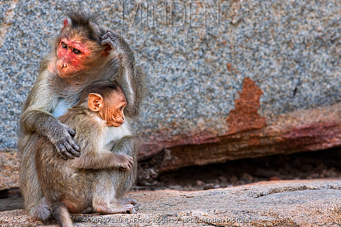 Bonnet macaque (Macaca radiata) female and baby . Hampi, Karnataka, India.