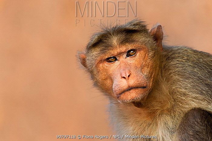 Bonnet macaque (Macaca radiata) male portrait . Hampi, Karnataka, India.
