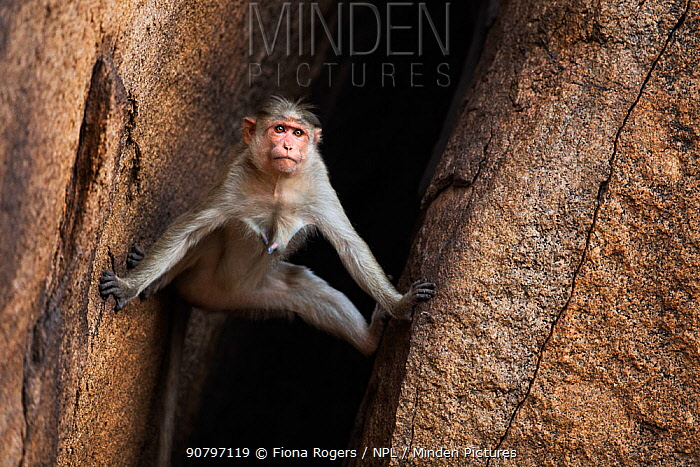 Bonnet macaque (Macaca radiata) female descending a rocky crevasse . Hampi, Karnataka, India.
