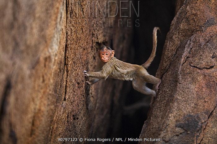 Bonnet macaque (Macaca radiata) juvenile climbing down a rock crevasse . Hampi, Karnataka, India.