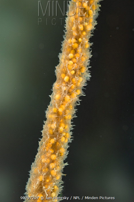 Freshwater sponge (Spongilla lacustris), with visible gemules, gemules are used in the asexual reproduction of sponges, Europe, November, controlled conditions