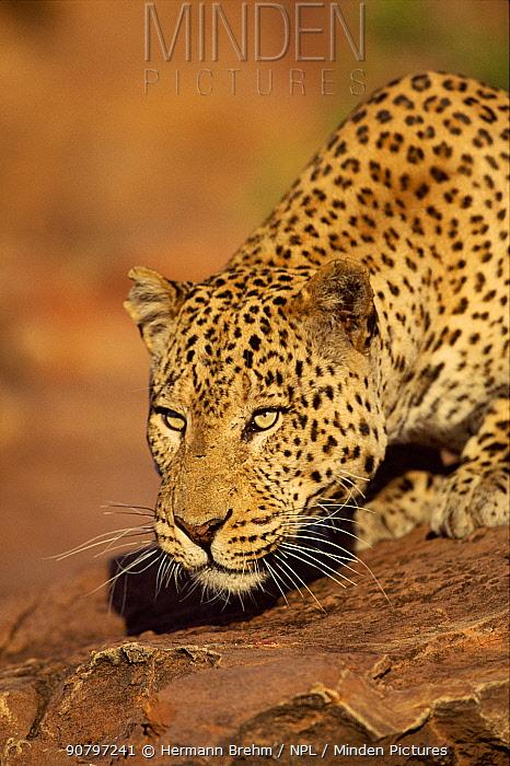 Leopard head portrait, Namibia. Captive animal