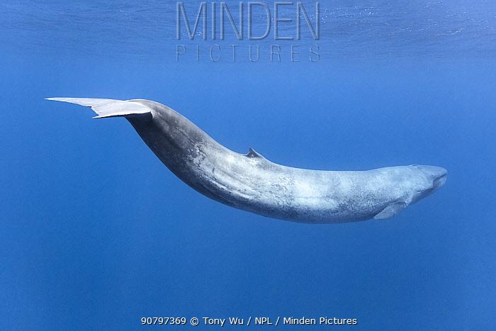 Blue whale (Balaenoptera musculus indica) in Indian Ocean, Mirissa, Matara, Sri Lanka.