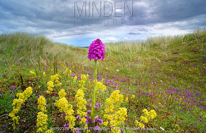 Pyramidal orchid (Anacamptis pyramidalis) amongst Lady's bedstraw (Galium verum) in dunes. Carrigart / Carrickart and Downings, County Donegal, Republic of Ireland. July