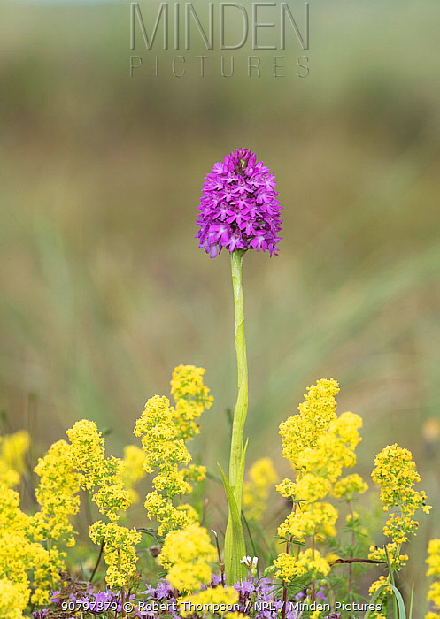 Pyramidal orchid (Anacamptis pyramidalis) amongst Lady's bedstraw (Galium verum). Carrigart / Carrickart and Downings, County Donegal, Republic of Ireland. July.