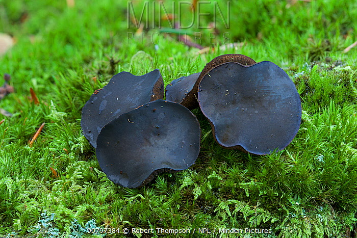 Black bulgar fungus (Bulgaria inquinans) growing amongst mosses, Tollymore Forest, County Down, Northern Ireland, UK. September.
