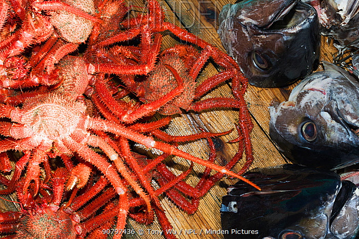Many-spined king crab (Paralomis multispina) and fish heads used as bait to catch crabs, on deck of fishing boat. Caught at approximately 1000m in depth. Suruga Bay, Shizuoka Prefecture, Honshu, Japan. April 2018.
