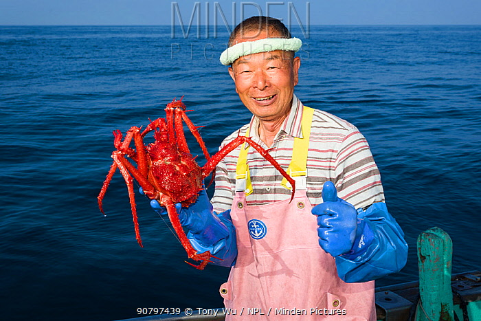 Fisherman holding deep-sea King crab (Lithodes turritus), caught at a depth of 1000m. Suruga Bay, Shizuoka Prefecture, Honshu, Japan. April 2018.