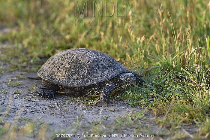 European pond turtle (Emys orbicularus) at edge of grassland. Danube Delta, Romania. May.