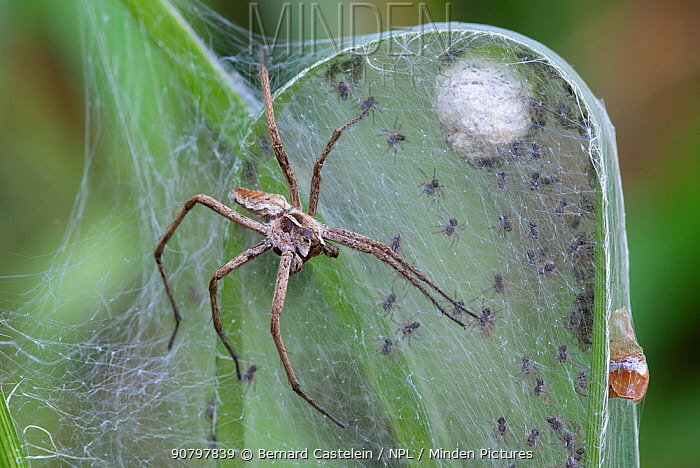 Nursery web spider (Pisaura mirabilis), female looking after spiderlings, Brasschaat, Belgium, July.. July