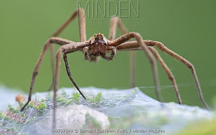 Nursery web spider (Pisaura mirabilis),Brasschaat, Belgium. July