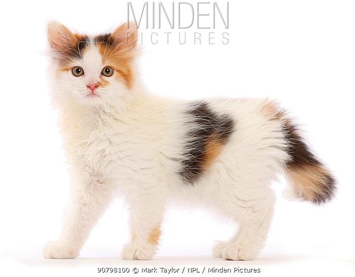 Calico kitten, 9 weeks.