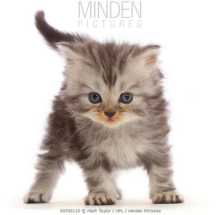 Silver tabby Persian-cross kitten.