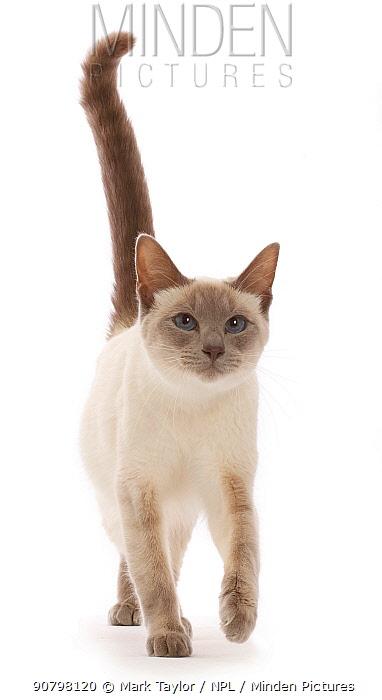 Blue-point Birman-cross cat, walking.