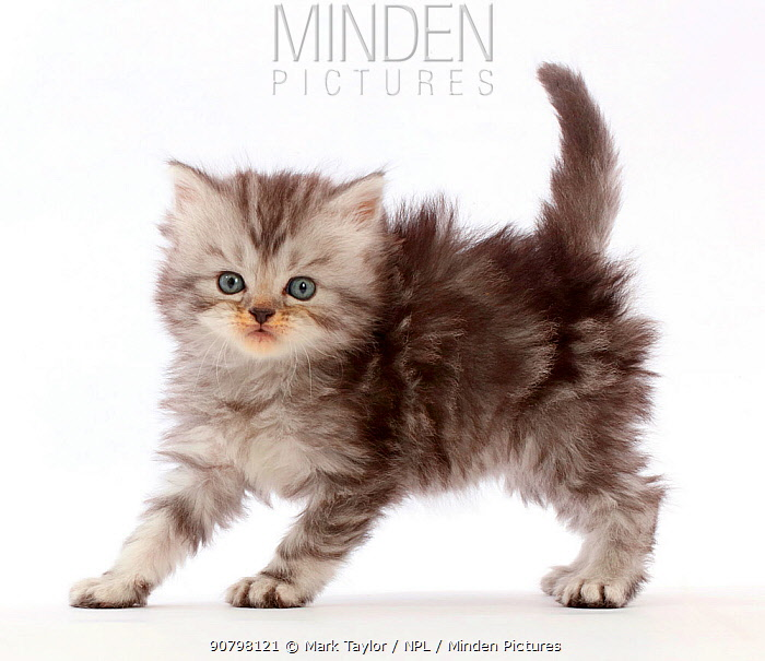 Silver tabby Persian-cross kitten arching back in playful confrontation.