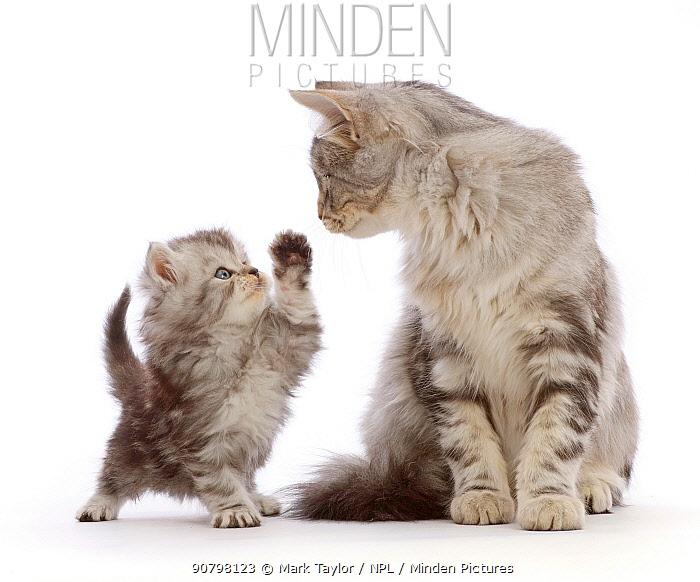 Silver tabby kitten, Freya, 4 months, with unrelated silver tabby Persian-cross kitten.