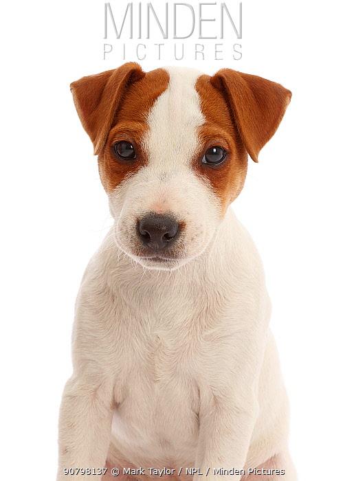 Jack Russell Terrier puppy, Bertie, 11 weeks.