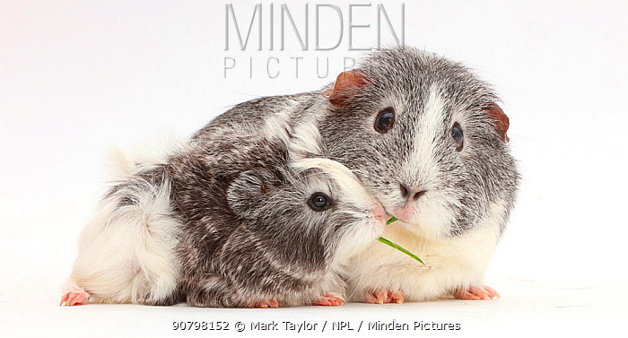 Guinea pig female and baby sharing a blade of grass.