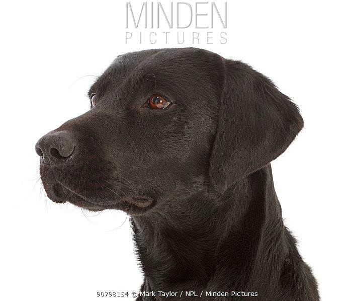 Black Labrador Retriever portrait.