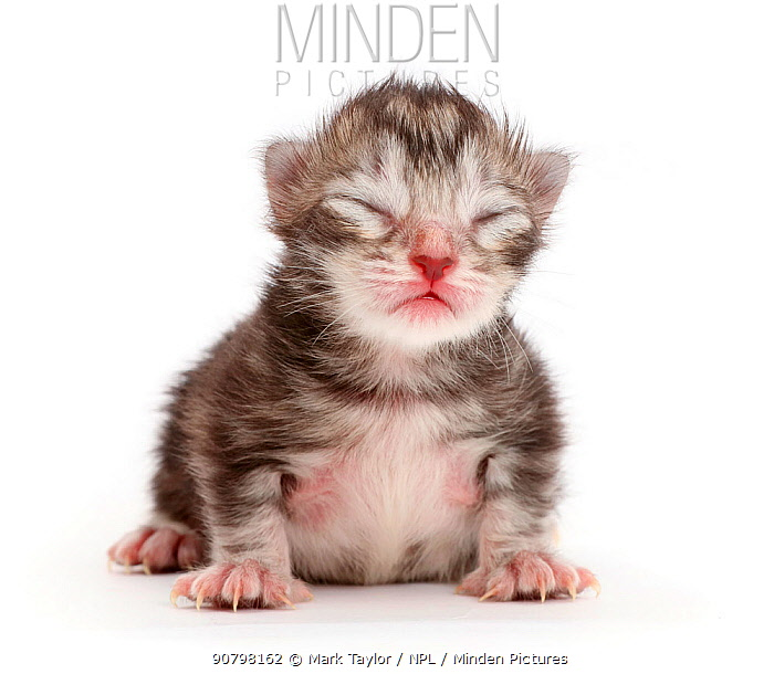 Tiny silver tabby kitten, Freya, 2 days.