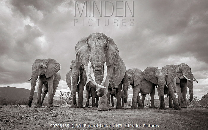 Black and white image of African elephant (Loxodonta africana) matriarch with herd, Tsavo Conservation Area, Kenya. Editorial use only.