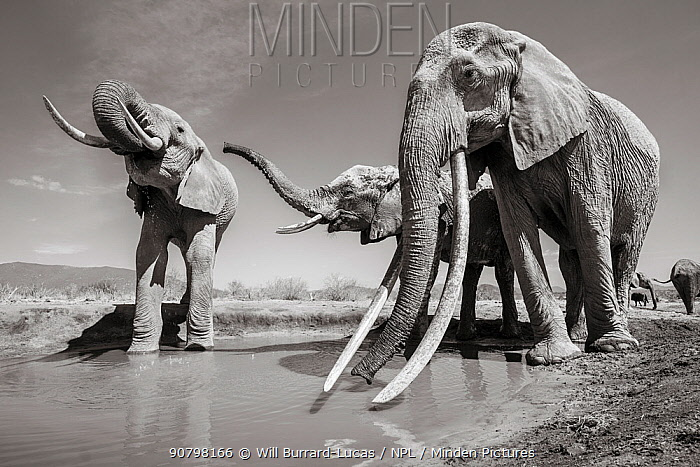 Black and white image of African elephant (Loxodonta africana) herd at water hole, female with extremely long tusks, Tsavo Conservation Area, Kenya. Editorial use only.