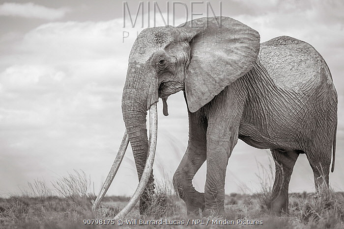 Black and white image of African elephant (Loxodonta africana) female with extremely long tusks, Tsavo Conservation Area, Kenya. Editorial use only.