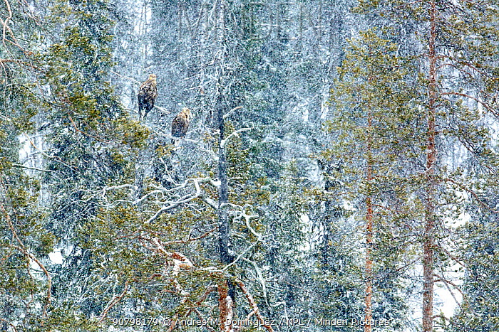 White-tailed eagle (Haliaeetus albicilla) male and female perched on tree in snow, near Kuusamo, Finland. March. Runner up in the Birds category of the GDT European Wildlife Photographer of the Year Awards 2018.