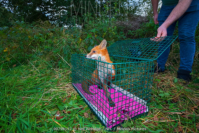 Young Red fox (Vulpes vulpes) prepares to leave a crate during the reintroduction of foxes into a nature reserve, North Somerset, England UK. These foxes were born in the wild but abandoned at a young age, so they were taken to a wildlife rescue centre where they were cared for before being deemed healthy enough to return to the wild. October 2015. Winner of the Portfolio Category of Nature Photographer of the Year Competition 2018.