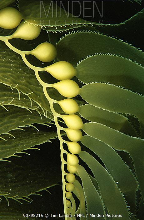 Giant Kelp (Macrocystis pyrifera) close up with detail of floats. Catalina Island, California, USA July