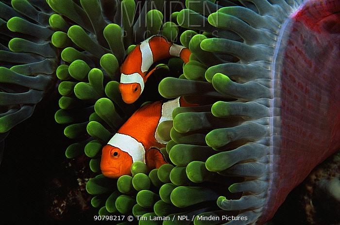 Two false clown anemonefish (Amphiprion ocellaris) amongst tentacles of sea anemone, Wakatobi Islands, Sulawesi, Indonesia.